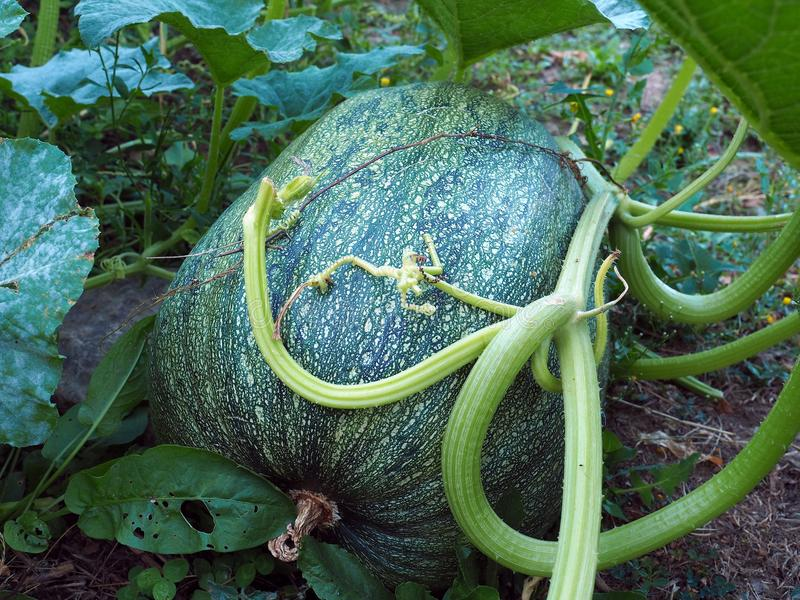 giant zucchini